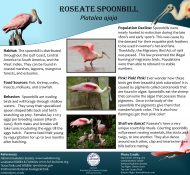 Roseate Spoonbill poster
