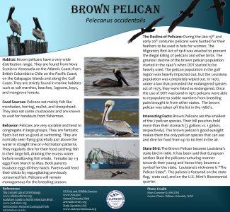 Brown Pelican Poster